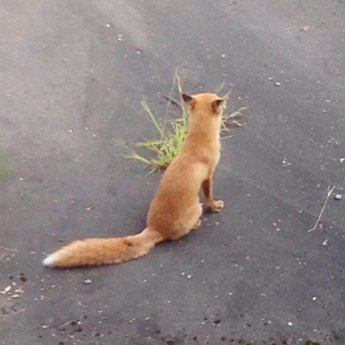 20150912_fox1.jpg